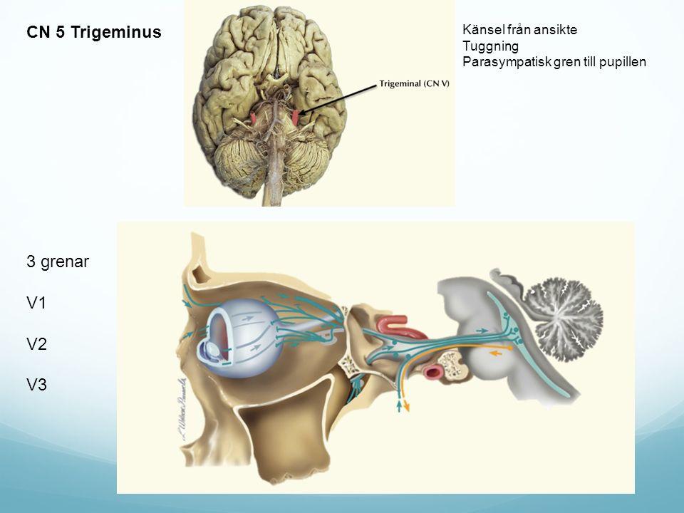 CN 5 Trigeminus 3 grenar V1 V2 V3 Känsel från ansikte Tuggning Parasympatisk gren till pupillen