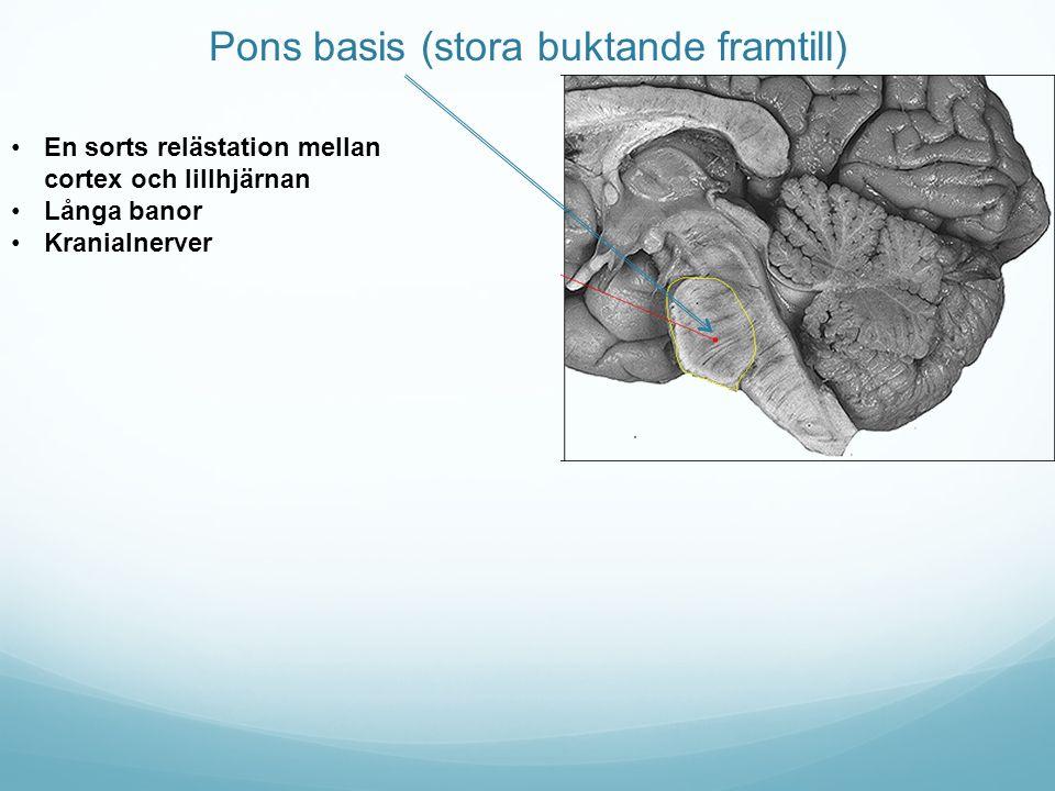 Pons basis (stora buktande framtill) En sorts relästation mellan cortex och lillhjärnan Långa banor Kranialnerver