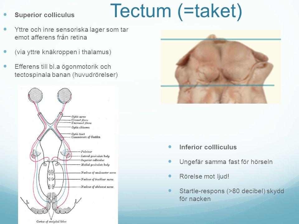 Tectum (=taket) Superior colliculus Yttre och inre sensoriska lager som tar emot afferens från retina (via yttre knäkroppen i thalamus) Efferens till bl.a ögonmotorik och tectospinala banan (huvudrörelser) Inferior collliculus Ungefär samma fast för hörseln Rörelse mot ljud.