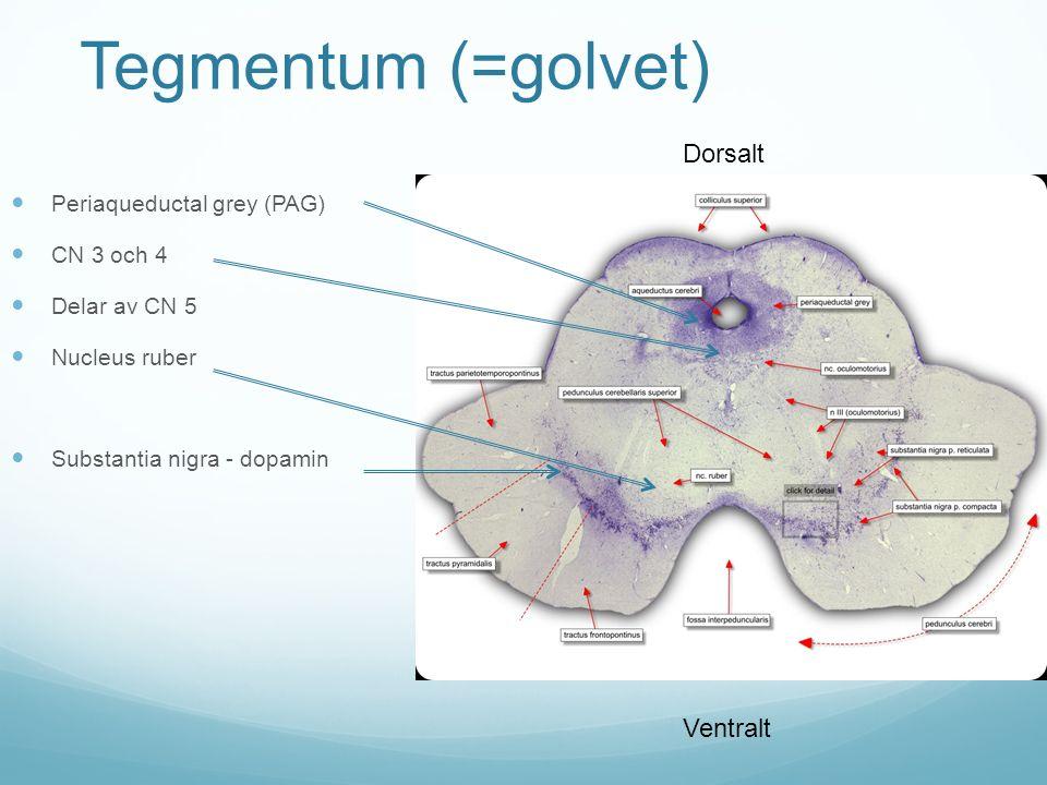 Tegmentum (=golvet) Periaqueductal grey (PAG) CN 3 och 4 Delar av CN 5 Nucleus ruber Substantia nigra - dopamin Dorsalt Ventralt