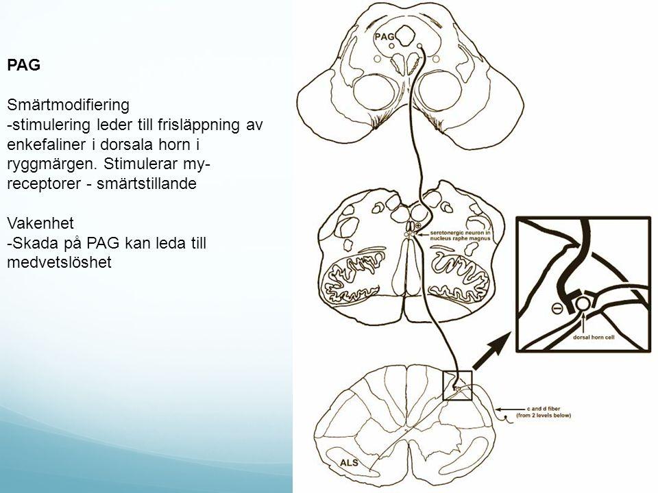 PAG Smärtmodifiering -stimulering leder till frisläppning av enkefaliner i dorsala horn i ryggmärgen.