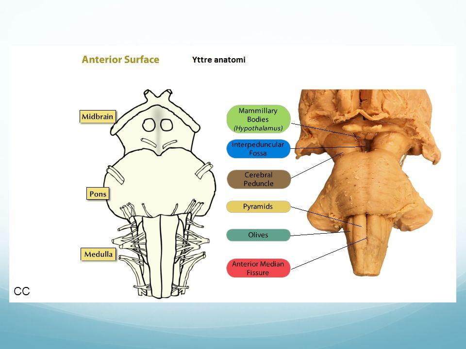 CC Kommunicerar med hjärnstammen via skänklar (peduncles)