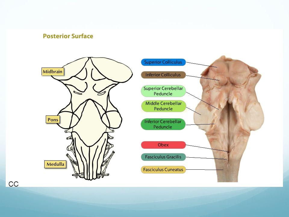 Mitthjärnan= mesencefalon Var är vi? Halsduken kring kycklingens hals (akveducten) 2cm lång CC