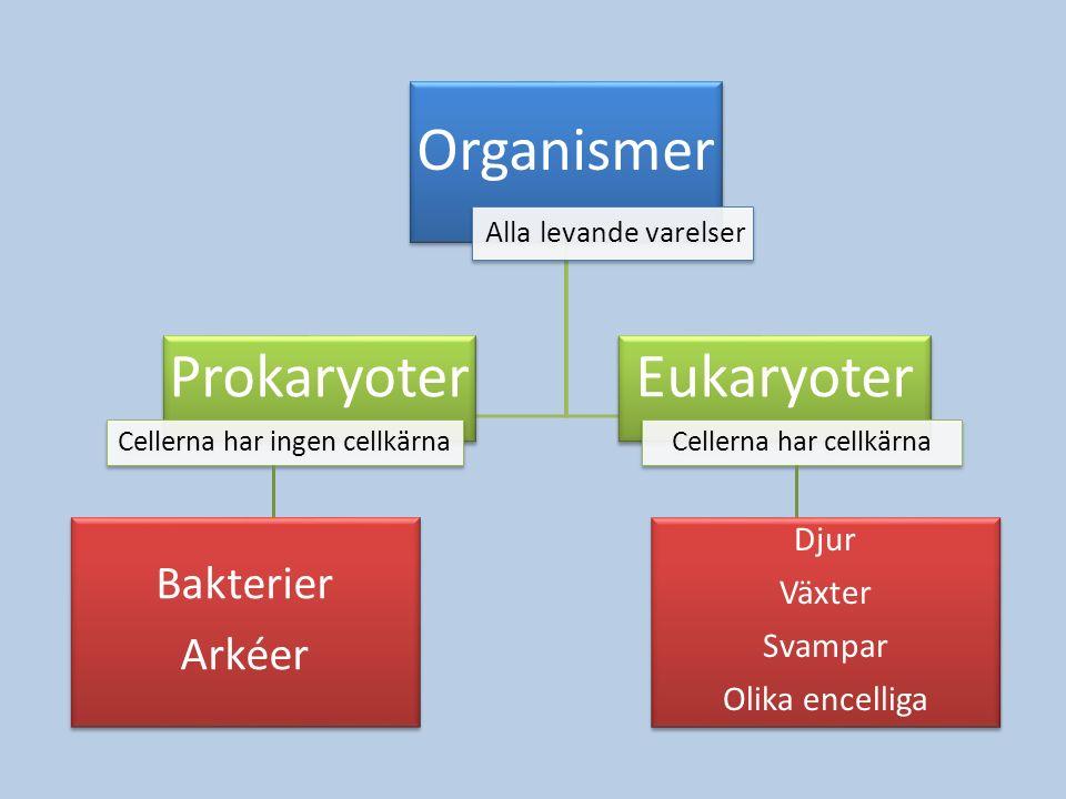 Organismer Alla levande varelser Bakterier Arkéer Bakterier Arkéer Prokaryoter Cellerna har ingen cellkärna Eukaryoter Cellerna har cellkärna Djur Väx