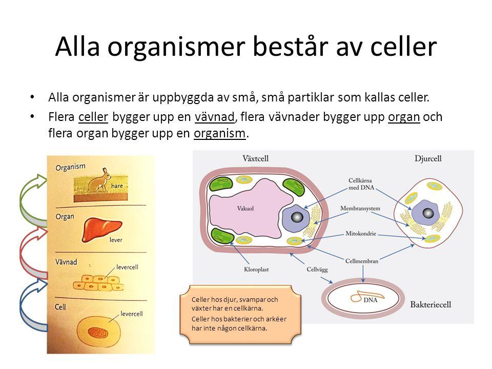 Alla organismer består av celler Alla organismer är uppbyggda av små, små partiklar som kallas celler. Flera celler bygger upp en vävnad, flera vävnad