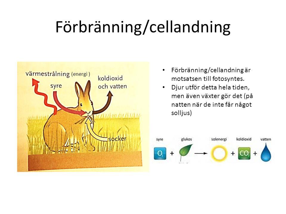 Förbränning/cellandning (energi ) Förbränning/cellandning är motsatsen till fotosyntes. Djur utför detta hela tiden, men även växter gör det (på natte