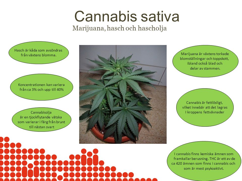 Cannabis sativa Marijuana, hasch och hascholja Hasch är kåda som avsöndras från växtens blomma. Marijuana är växtens torkade blomställningar och topps