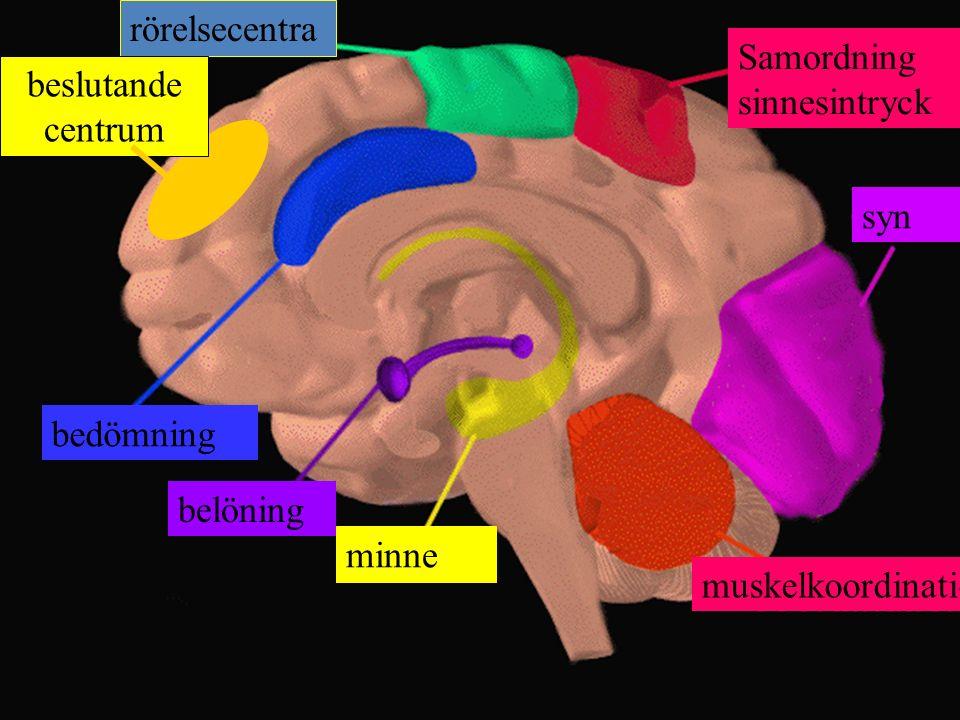 rörelsecentra Samordning sinnesintryck syn muskelkoordination minne belöning bedömning beslutande centrum