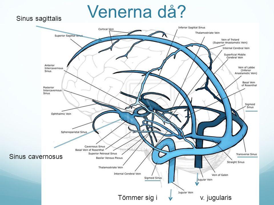 Venerna då? Tömmer sig i v. jugularis Sinus sagittalis Sinus cavernosus