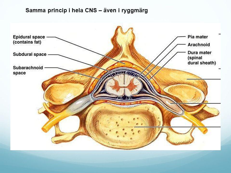 Samma princip i hela CNS – även i ryggmärg
