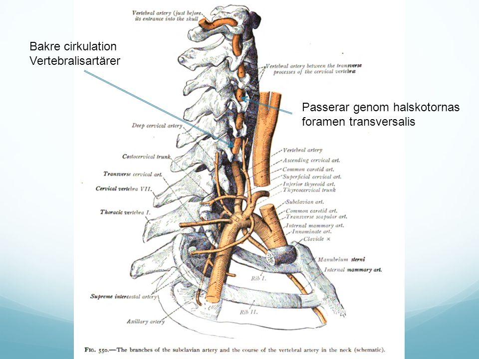 Bakre cirkulation Vertebralisartärer Passerar genom halskotornas foramen transversalis