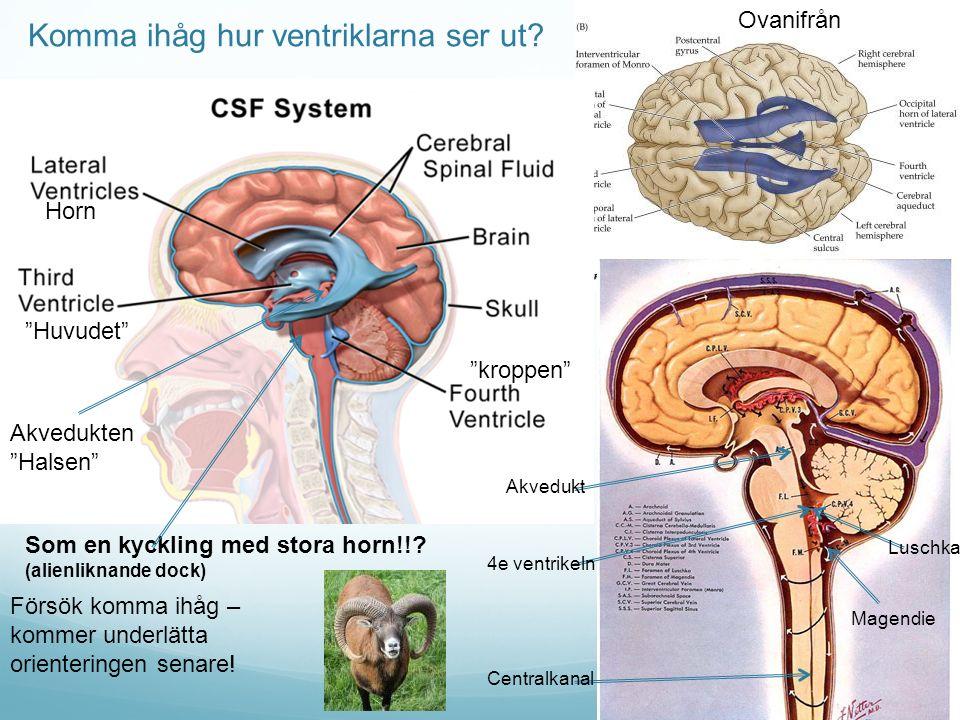 Komma ihåg hur ventriklarna ser ut? Ovanifrån Som en kyckling med stora horn!!? (alienliknande dock) Luschka Magendie Centralkanal 4e ventrikeln Akved