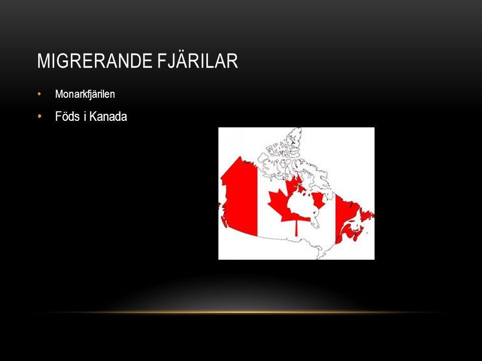 MIGRERANDE FJÄRILAR Monarkfjärilen Föds i Kanada