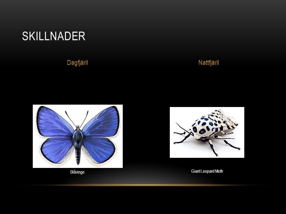 SKILLNADER DagfjärilNattfjäril Blåvinge Giant Leopard Moth