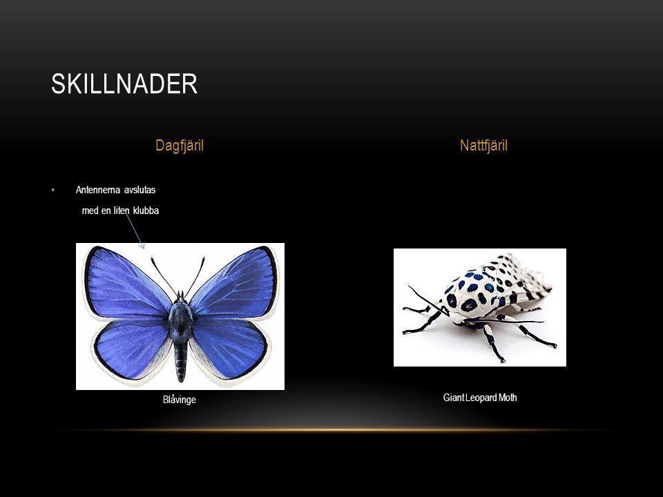 Antennerna avslutas med en liten klubba SKILLNADER DagfjärilNattfjäril Blåvinge Giant Leopard Moth