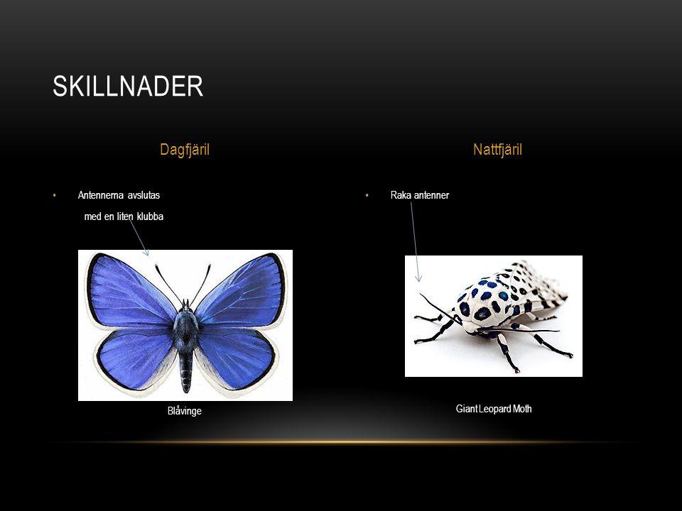 Raka antenner Antennerna avslutas med en liten klubba SKILLNADER DagfjärilNattfjäril Blåvinge Giant Leopard Moth