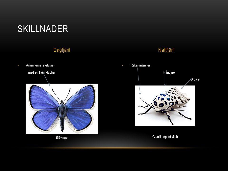 Raka antenner Hårigare Grövre Antennerna avslutas med en liten klubba SKILLNADER DagfjärilNattfjäril Blåvinge Giant Leopard Moth