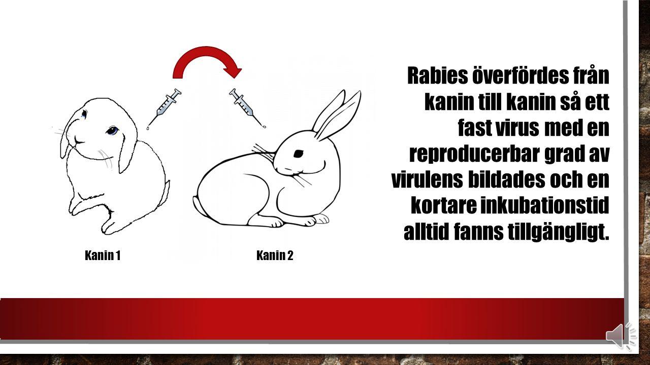 Rabies överfördes från kanin till kanin så ett fast virus med en reproducerbar grad av virulens bildades och en kortare inkubationstid alltid fanns tillgängligt.