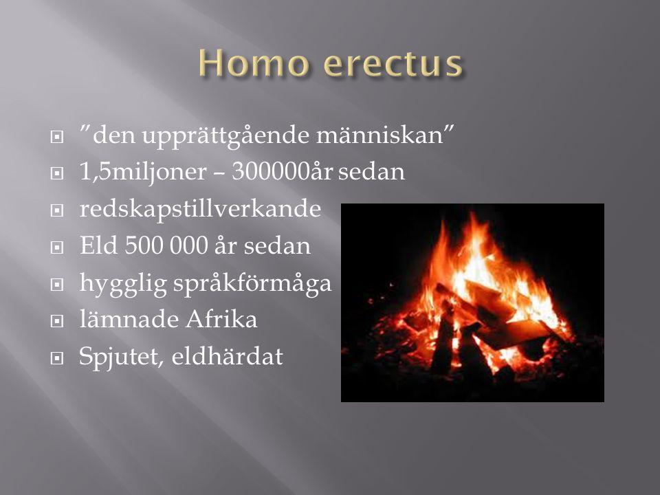 """ """"den upprättgående människan""""  1,5miljoner – 300000år sedan  redskapstillverkande  Eld 500 000 år sedan  hygglig språkförmåga  lämnade Afrika """