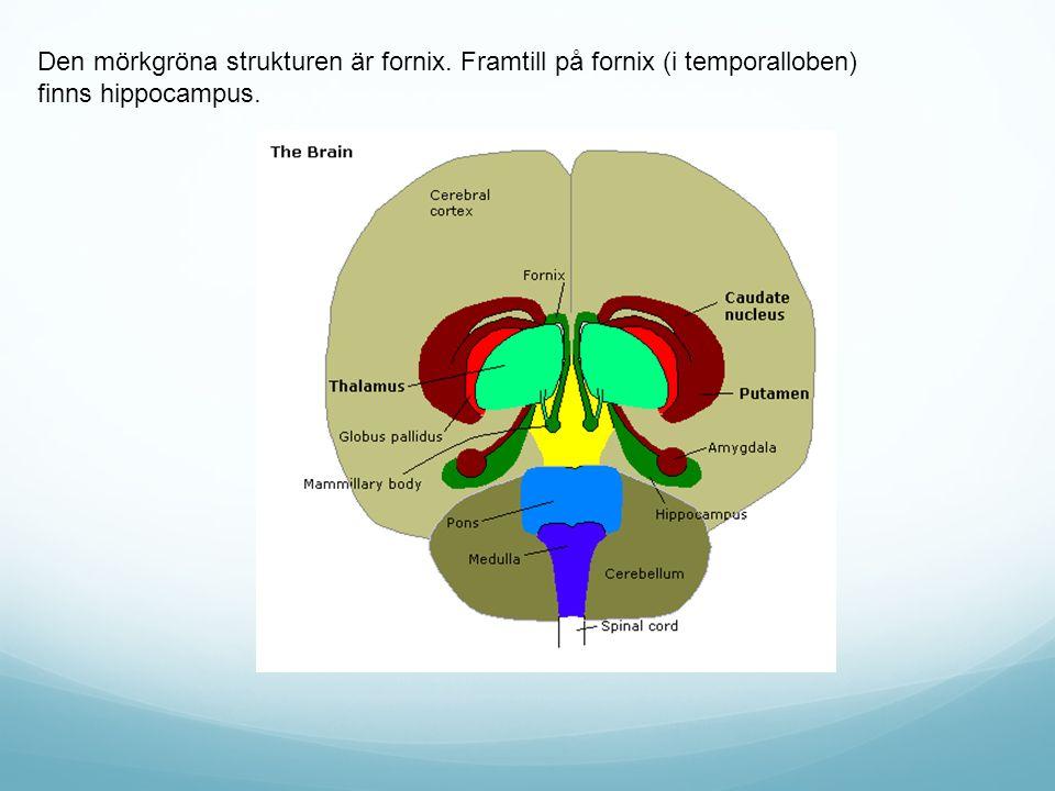 Den mörkgröna strukturen är fornix. Framtill på fornix (i temporalloben) finns hippocampus.