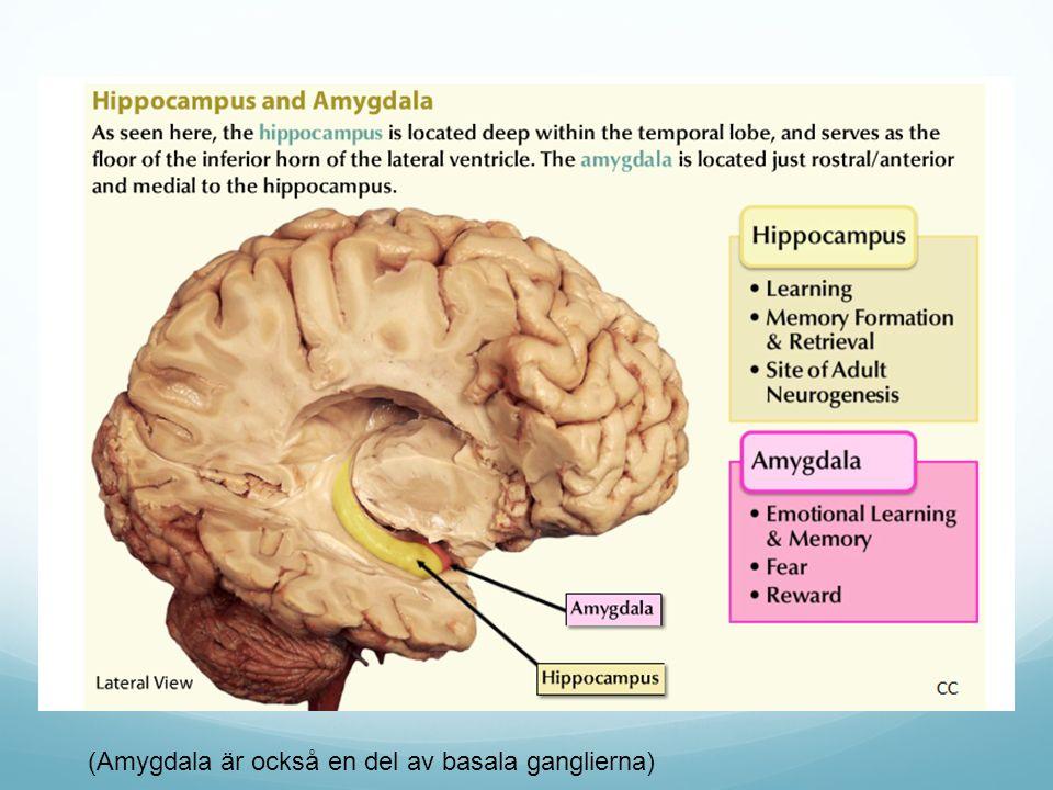 (Amygdala är också en del av basala ganglierna)