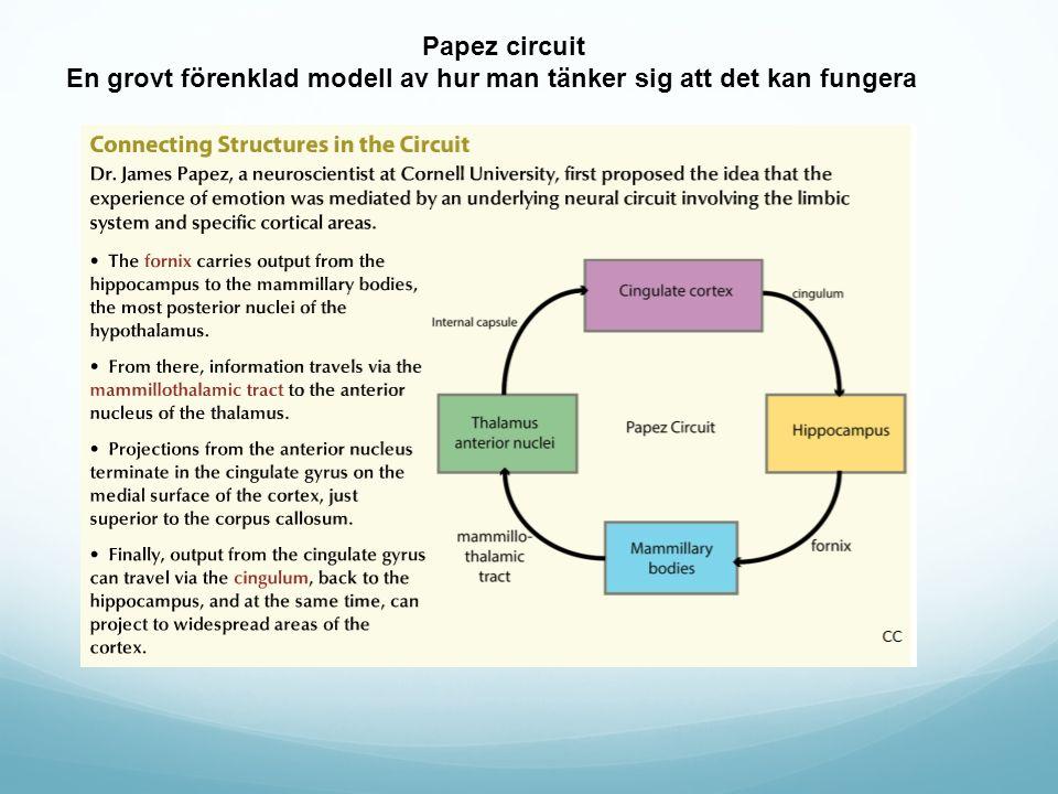 Papez circuit En grovt förenklad modell av hur man tänker sig att det kan fungera