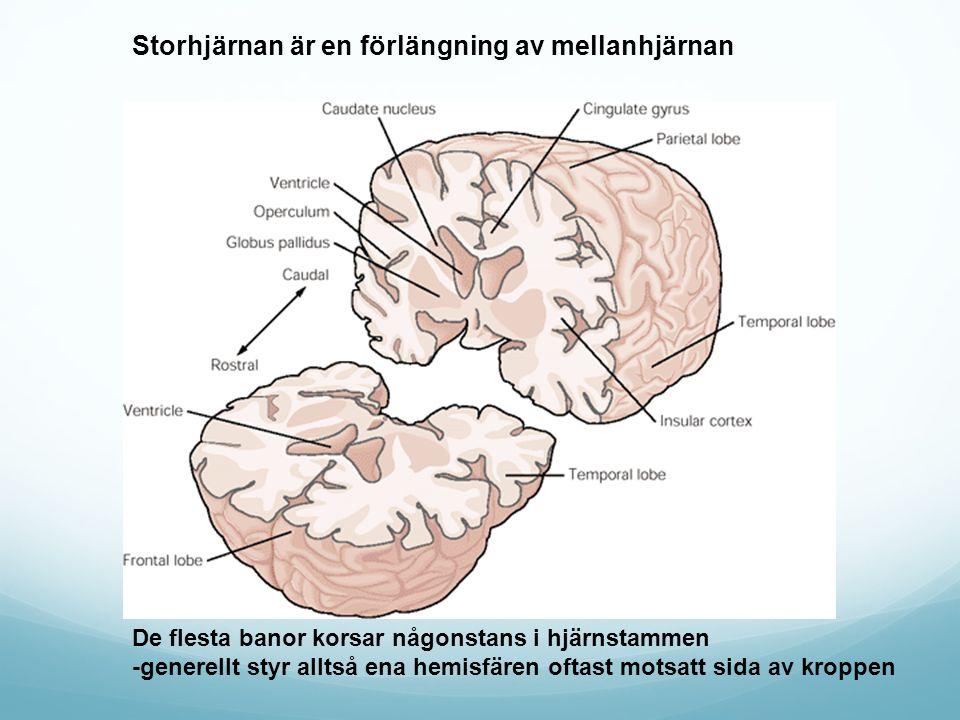 Storhjärnan är en förlängning av mellanhjärnan De flesta banor korsar någonstans i hjärnstammen -generellt styr alltså ena hemisfären oftast motsatt s