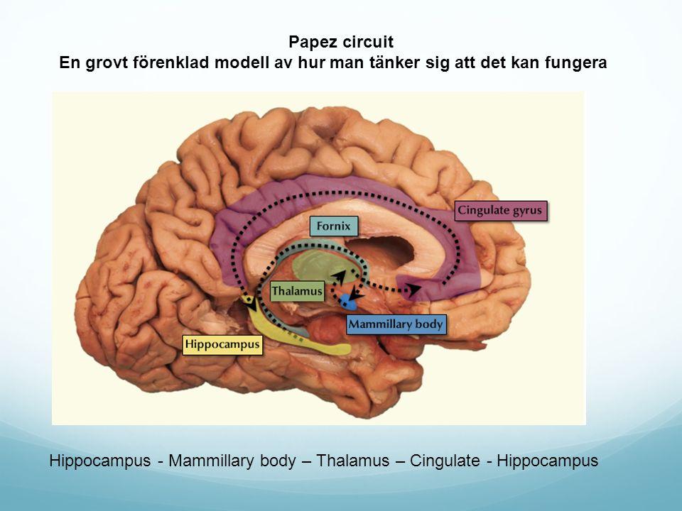 Hippocampus - Mammillary body – Thalamus – Cingulate - Hippocampus Papez circuit En grovt förenklad modell av hur man tänker sig att det kan fungera