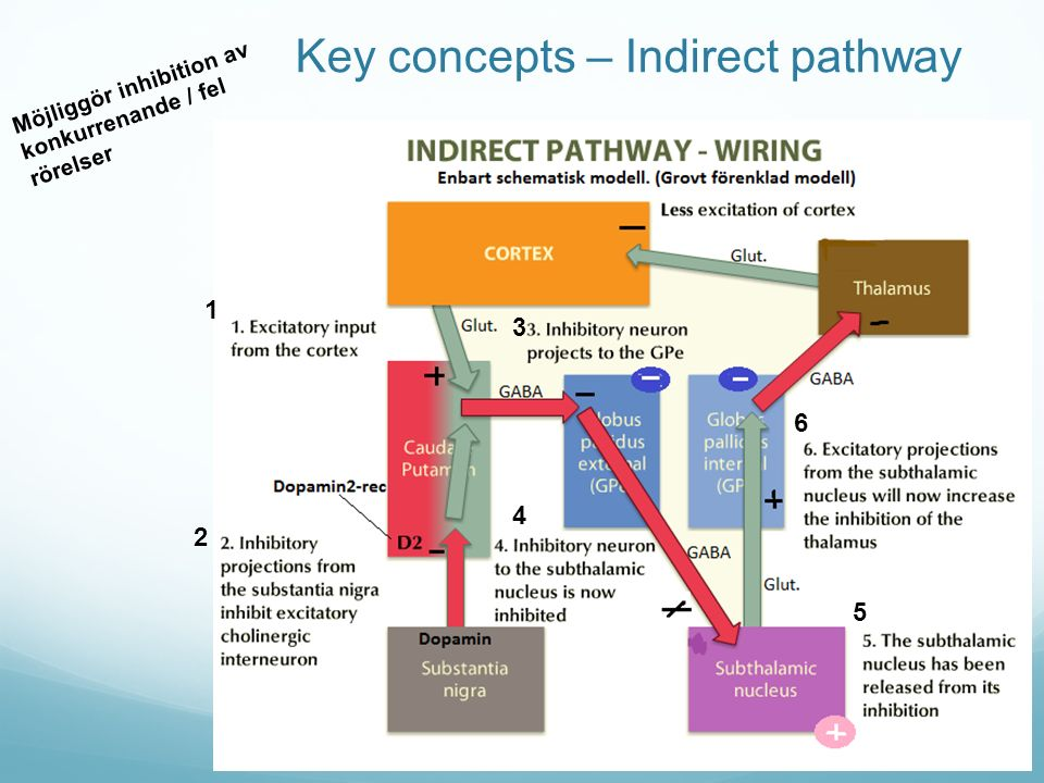 Key concepts – Indirect pathway Möjliggör inhibition av konkurrenande / fel rörelser 1 2 3 4 5 6