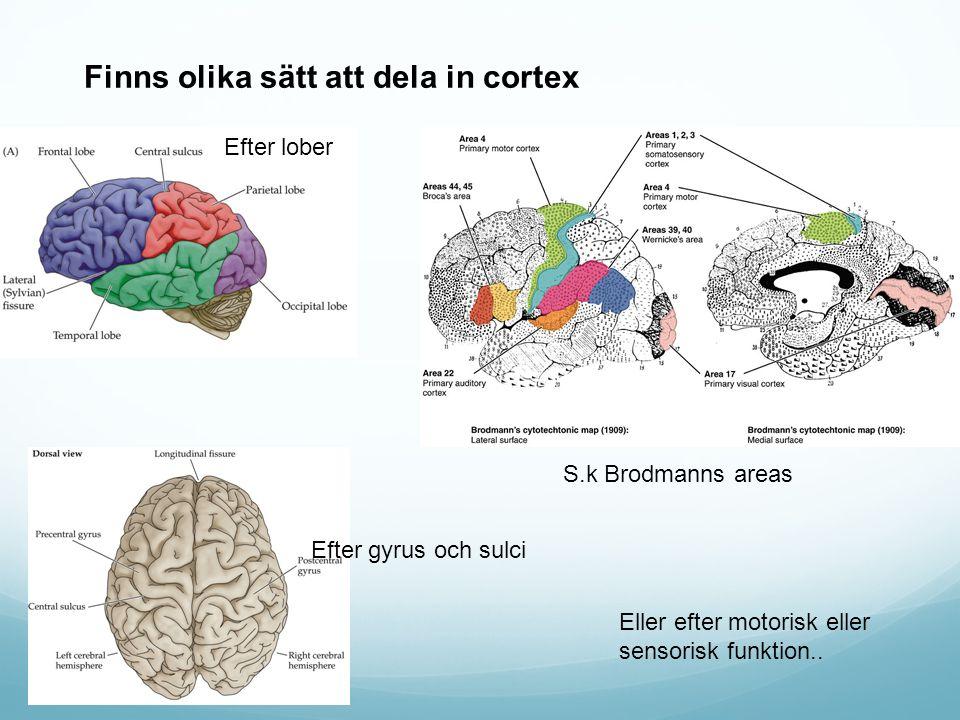 Finns olika sätt att dela in cortex S.k Brodmanns areas Efter lober Efter gyrus och sulci Eller efter motorisk eller sensorisk funktion..