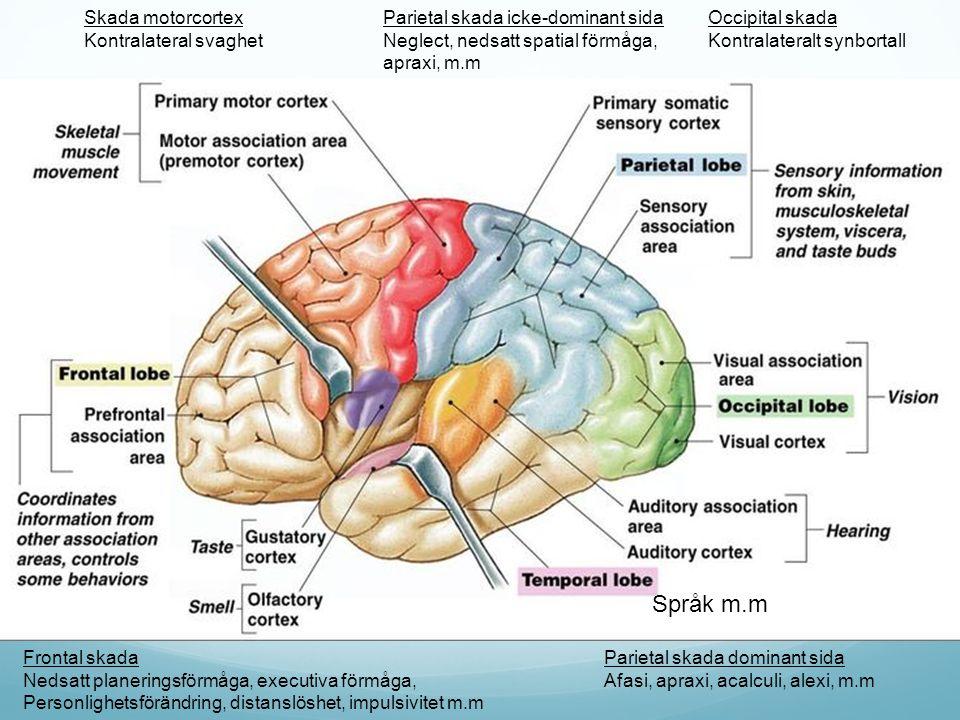 Språk m.m Parietal skada dominant sida Afasi, apraxi, acalculi, alexi, m.m Parietal skada icke-dominant sida Neglect, nedsatt spatial förmåga, apraxi,