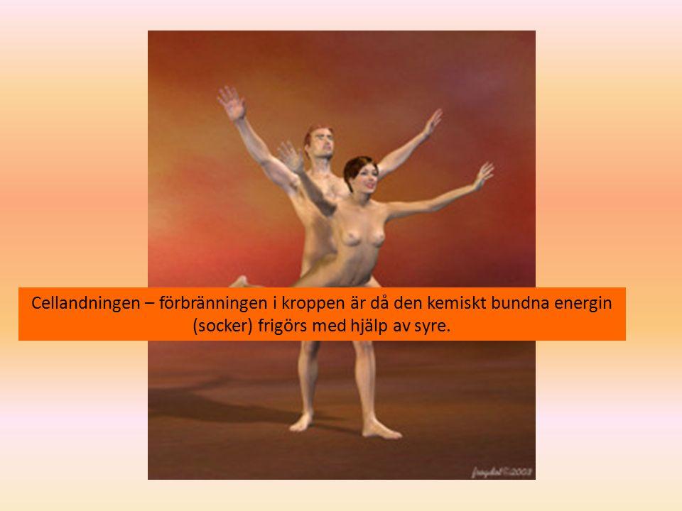 Cellandningen – förbränningen i kroppen är då den kemiskt bundna energin (socker) frigörs med hjälp av syre.