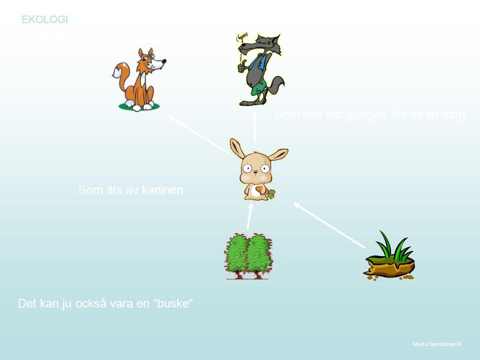 EKOLOGI Närningskedja Det kan ju också vara en buske Som äts av kaninen Som den här gången äts av en varg Micke Sundström ©
