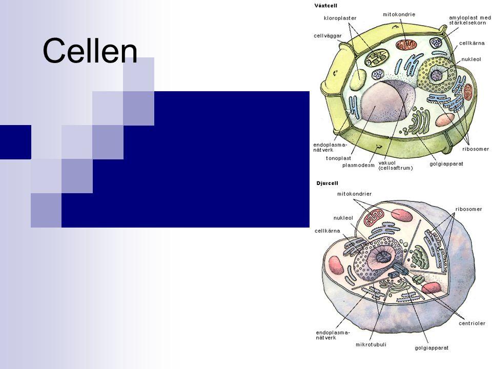 Celler Allt levande är uppbyggt av celler.Vissa organismer består av en enda cell tex bakterier.