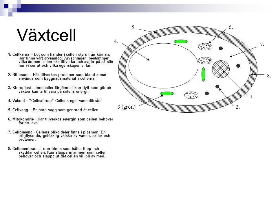 Djurcell Djurcellen saknar cellvägg, vakuol och kloroplaster.