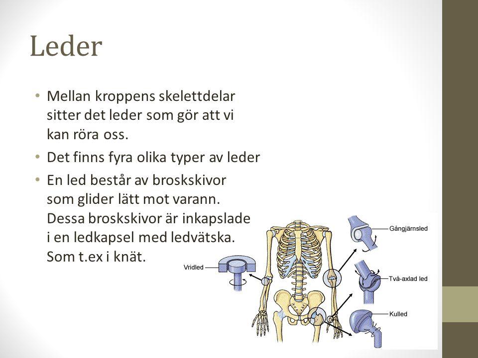 Leder Mellan kroppens skelettdelar sitter det leder som gör att vi kan röra oss. Det finns fyra olika typer av leder En led består av broskskivor som