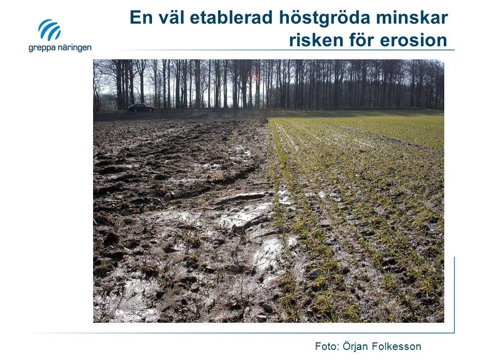 En väl etablerad höstgröda minskar risken för erosion Foto: Örjan Folkesson