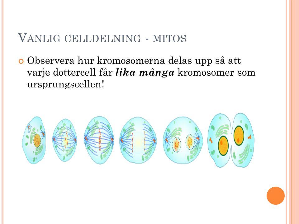 V ANLIG CELLDELNING - MITOS Observera hur kromosomerna delas upp så att varje dottercell får lika många kromosomer som ursprungscellen!