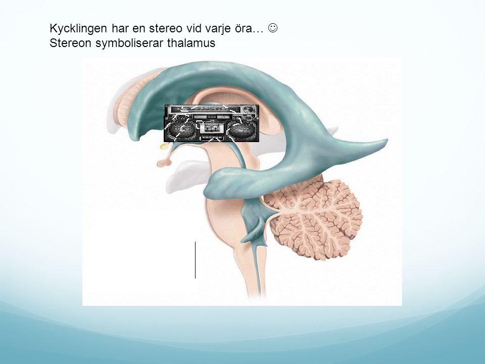 Kycklingen har en stereo vid varje öra… Stereon symboliserar thalamus