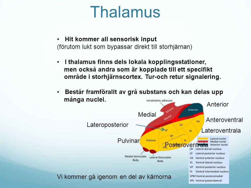 Thalamus Hit kommer all sensorisk input (förutom lukt som bypassar direkt till storhjärnan) I thalamus finns dels lokala kopplingsstationer, men också