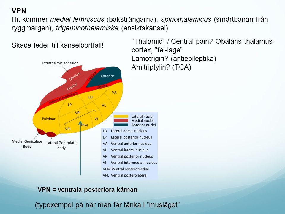 """VPN = ventrala posteriora kärnan (typexempel på när man får tänka i """"musläget"""" VPN Hit kommer medial lemniscus (baksträngarna), spinothalamicus (smärt"""