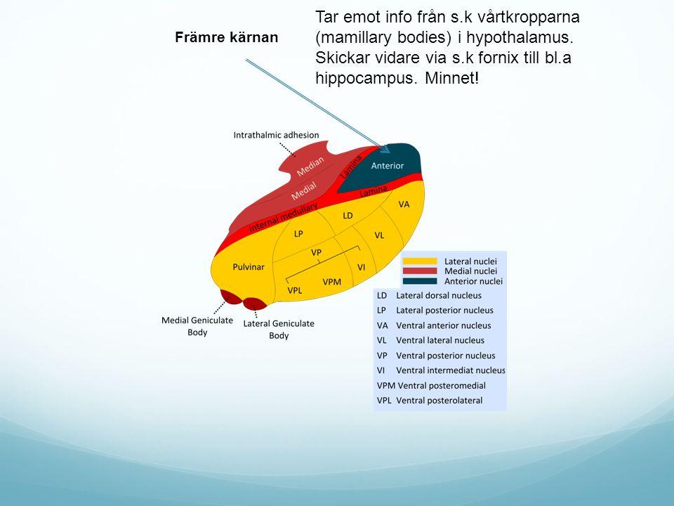 Främre kärnan Tar emot info från s.k vårtkropparna (mamillary bodies) i hypothalamus. Skickar vidare via s.k fornix till bl.a hippocampus. Minnet!