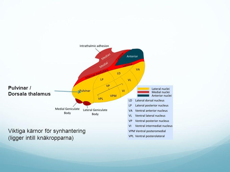 Pulvinar / Dorsala thalamus Viktiga kärnor för synhantering (ligger intill knäkropparna)