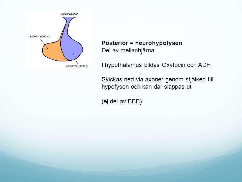 Posterior = neurohypofysen Del av mellanhjärna I hypothalamus bildas Oxytocin och ADH Skickas ned via axoner genom stjälken till hypofysen och kan där