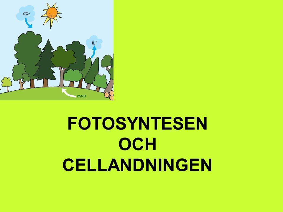 FOTOSYNTESEN OCH CELLANDNINGEN