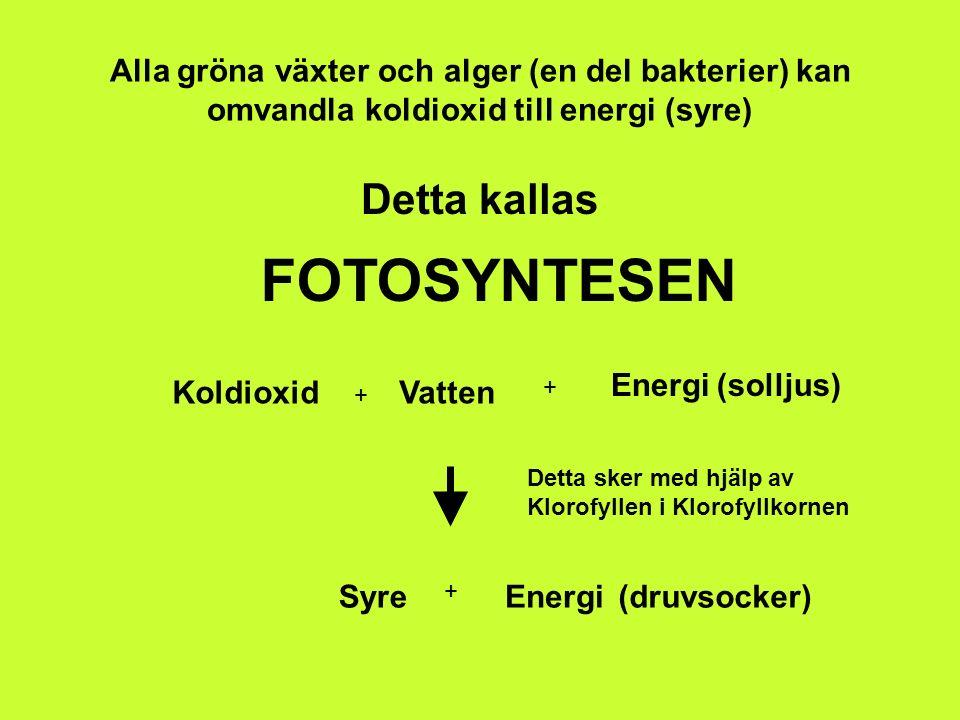 Alla gröna växter och alger (en del bakterier) kan omvandla koldioxid till energi (syre) Detta kallas FOTOSYNTESEN Koldioxid + Vatten + Energi(solljus