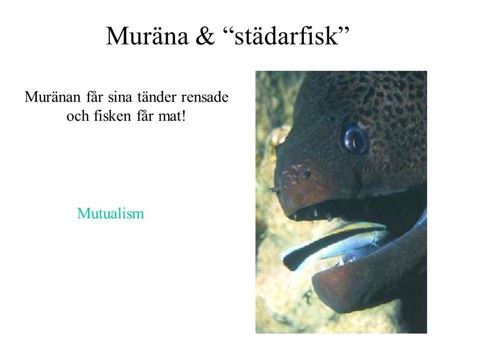 """Muräna & """"städarfisk"""" Muränan får sina tänder rensade och fisken får mat! Mutualism"""