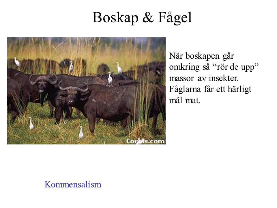 """Boskap & Fågel När boskapen går omkring så """"rör de upp"""" massor av insekter. Fåglarna får ett härligt mål mat. Kommensalism"""