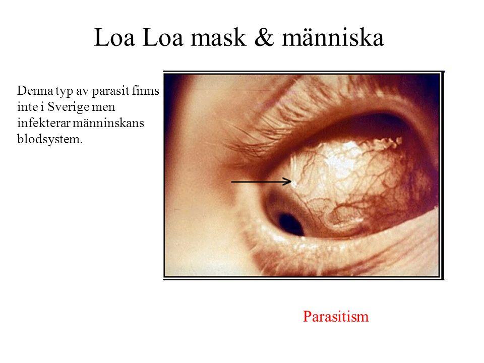 Loa Loa mask & människa Denna typ av parasit finns inte i Sverige men infekterar männinskans blodsystem. Parasitism