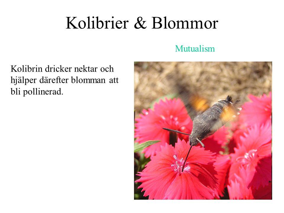 Kolibrier & Blommor Kolibrin dricker nektar och hjälper därefter blomman att bli pollinerad. Mutualism